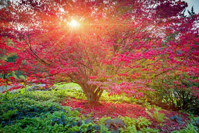 Seattle japończyka ogród, Klonowy drzewo fotografia stock