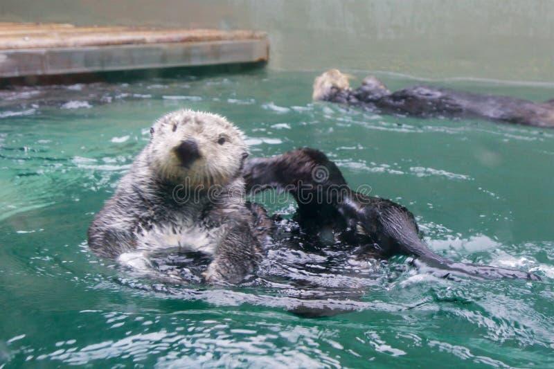 SEATTLE, WASHINGTON, DE V.S. - 25 JANUARI, 2017: Otter die op zijn rug zwemmen, die camera in een aquarium onderzoeken royalty-vrije stock fotografie
