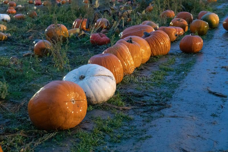 Selecting pumpkins for halloween stock photos