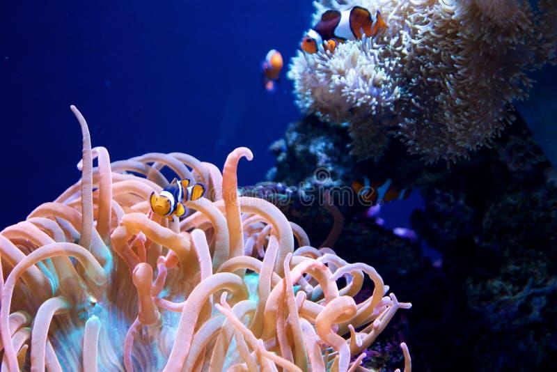 SEATTLE WASHINGTON, USA - JANUARI 25th, 2017: Havsanemonen och en grupp av clownen fiskar i marin- akvarium på blå bakgrund arkivbild