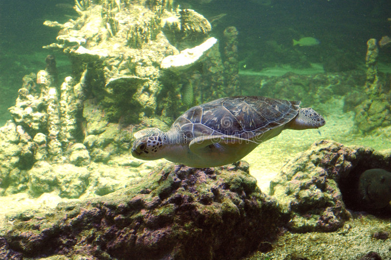 Download Seaturtle swimming stock photo. Image of oceans, swimming - 79262