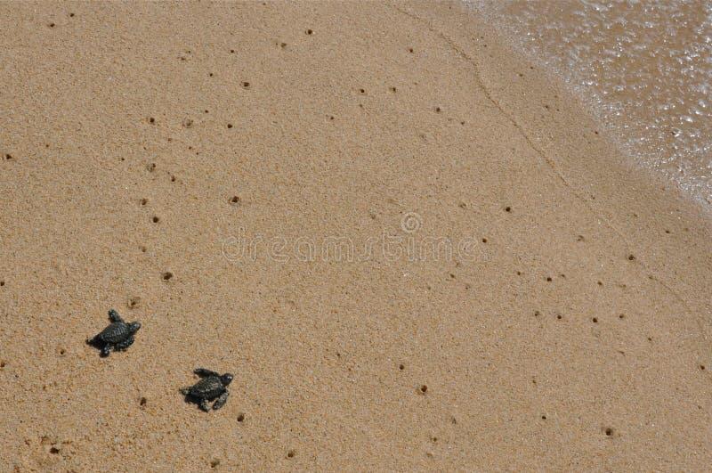 Seaturtles del bebé que se acercan al océano fotos de archivo libres de regalías