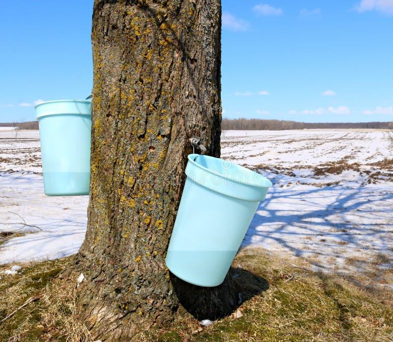 Seaux rassemblant la sève accrochant du tronc de l'arbre d'érable images libres de droits