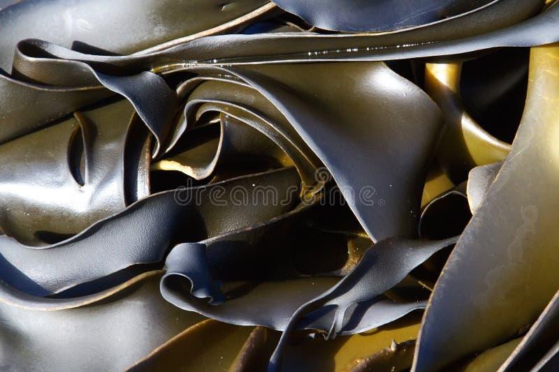 seaweed келпа стоковое изображение rf