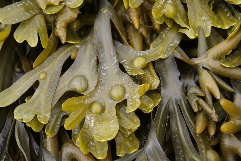 seaweed крупного плана влажный стоковые изображения rf