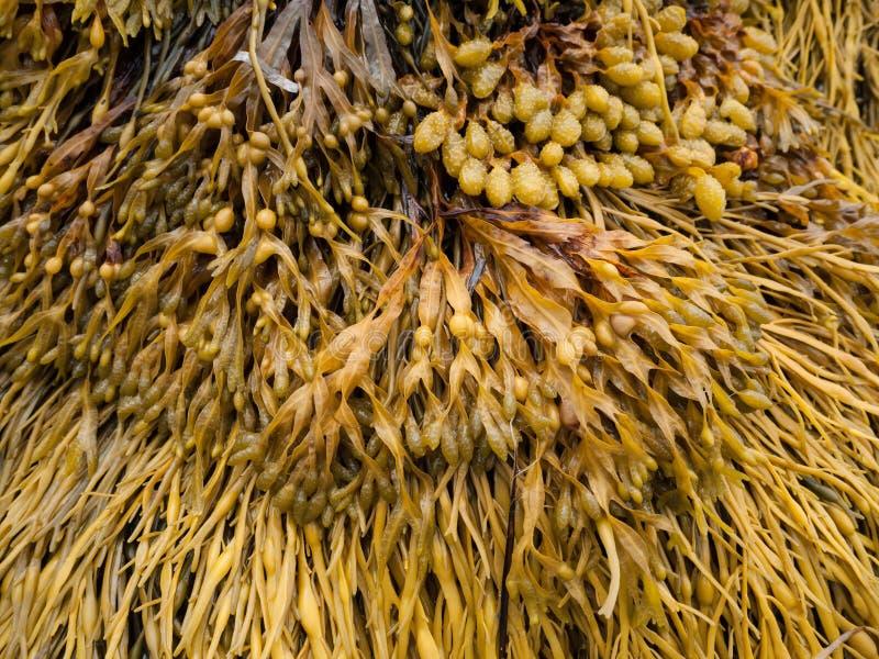 Download Seaweed 1 Royalty Free Stock Images - Image: 26213999