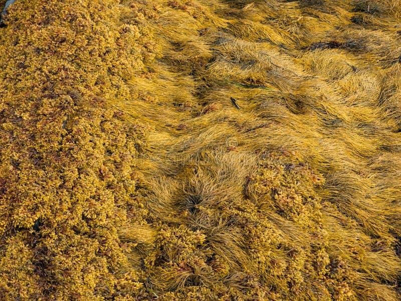 Download Seaweed 2 Royalty Free Stock Image - Image: 26214016
