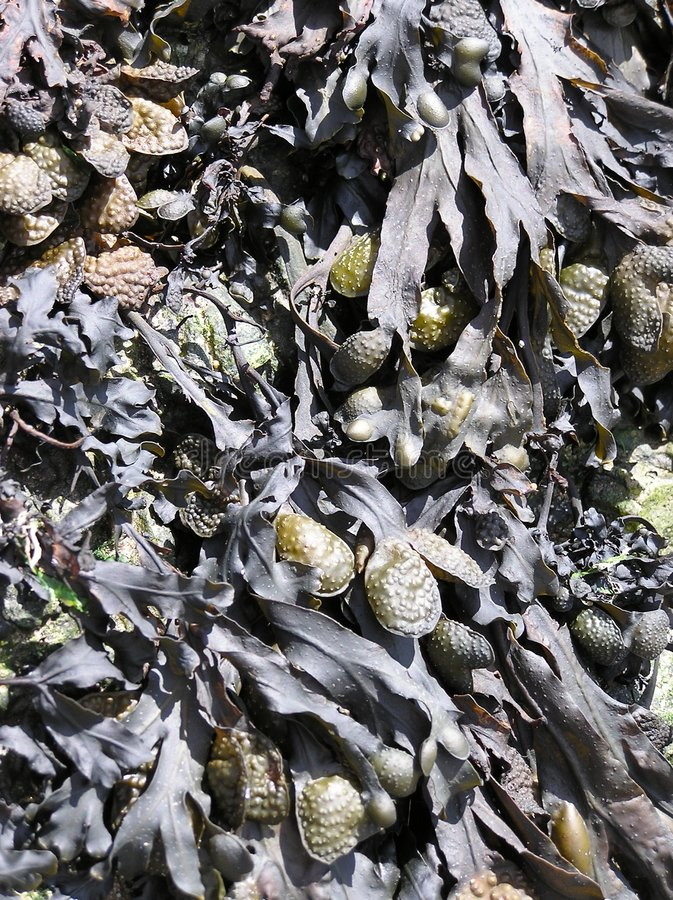 Seaweed stock images