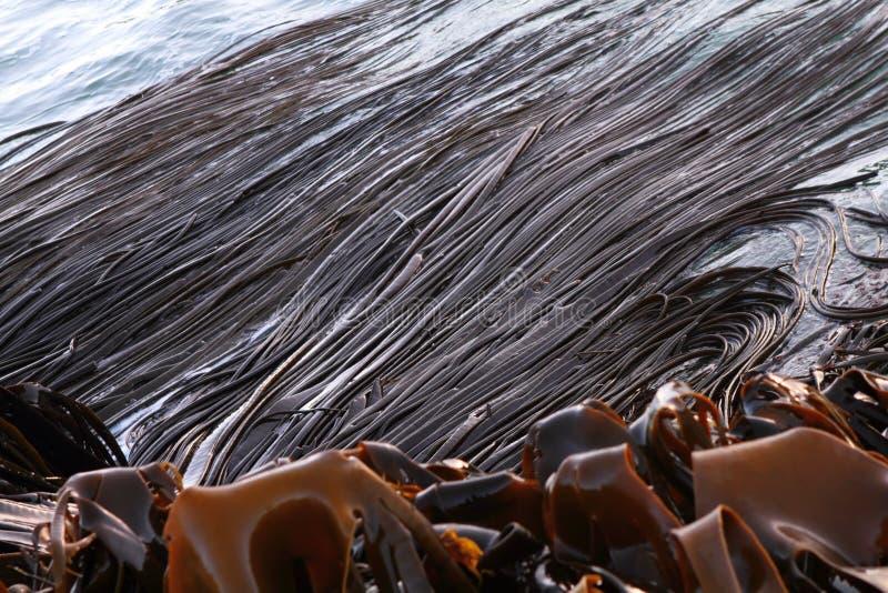 Seaweed стоковое фото