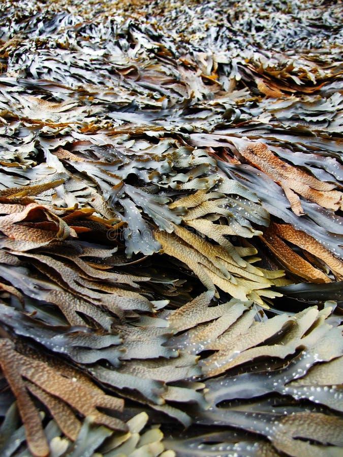 Free Seaweed Royalty Free Stock Photo - 3312255