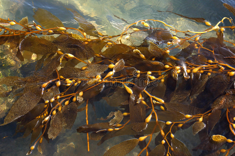 SeaWeed. Also known as Kelp floating in the water royalty free stock photos