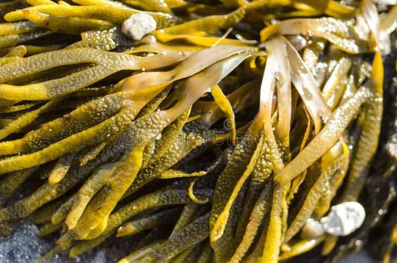 Download Seaweed imagen de archivo. Imagen de d0, algas, primavera - 42431743