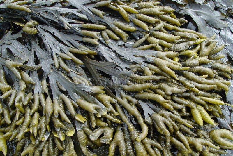 seaweed стоковое изображение