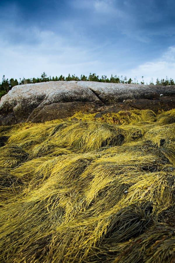 seaweed foto de archivo
