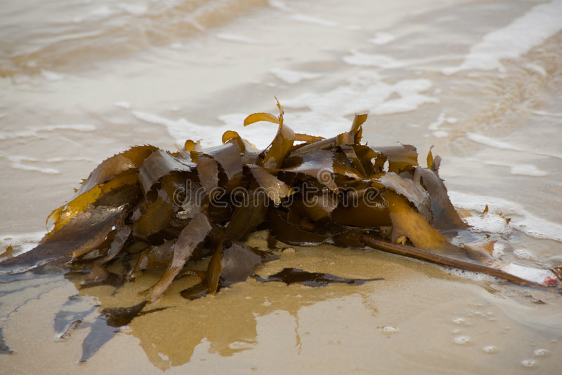 Seaweed on beach royalty free stock photography