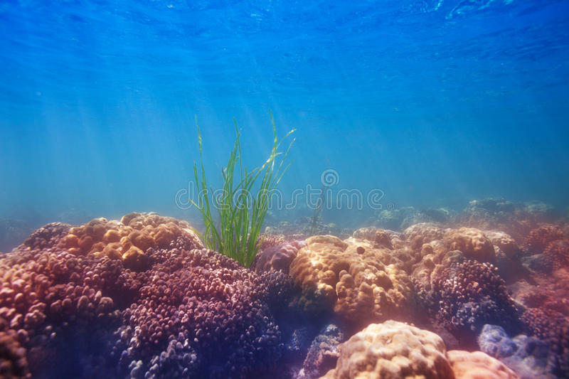 Seaweed on coral bottom royalty free stock photos