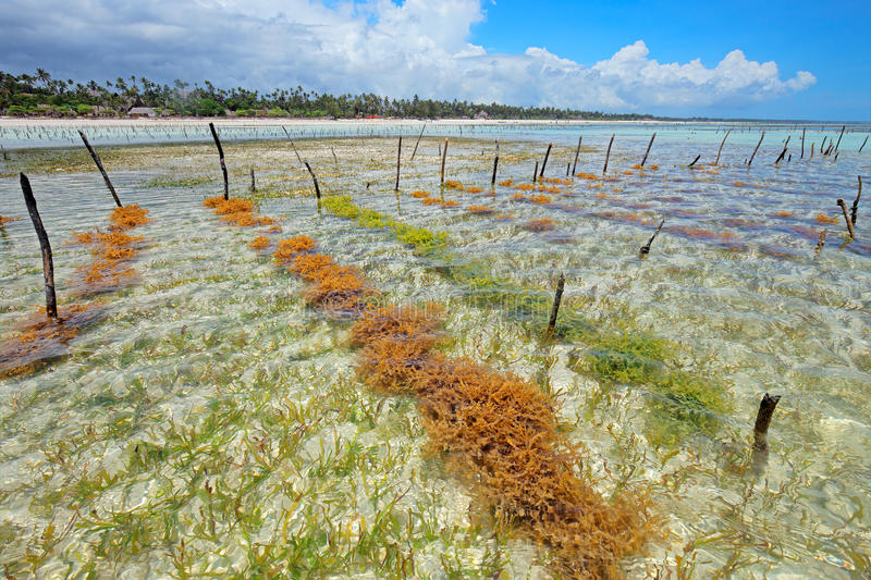 Download Seaweed farming stock image. Image of beach, weed, outdoor - 57373101