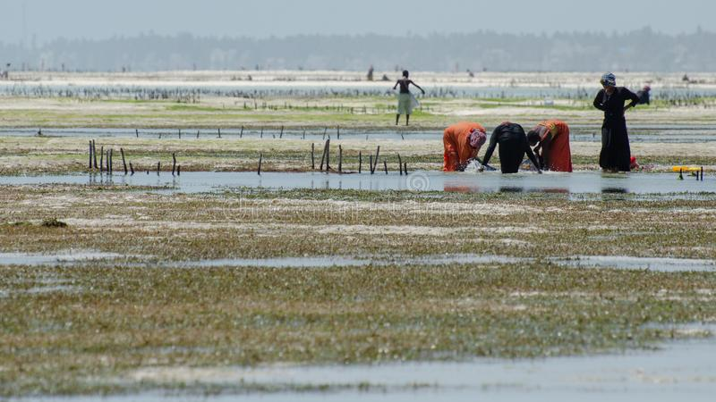 Seaweed farming in Zanzibar Tanzania, February 2019 stock photography