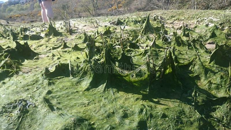 Seaweed at gower peninsula royalty free stock photos