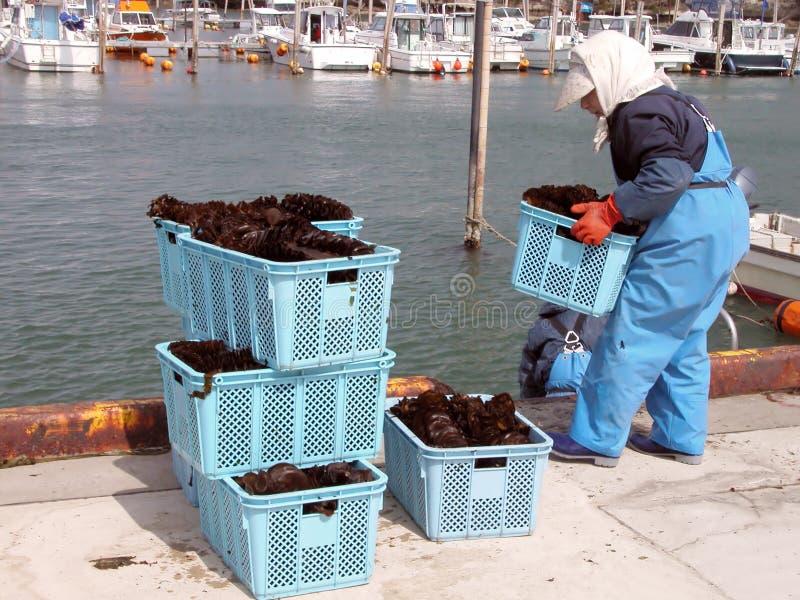 Seaweed harvest stock images