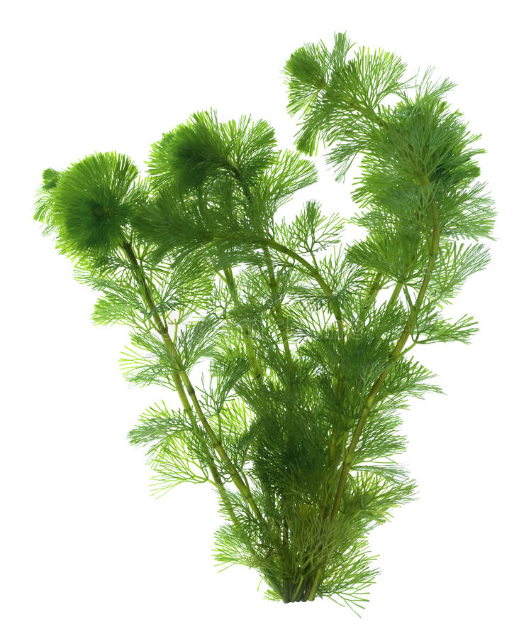 Free Seaweed Isolated Royalty Free Stock Photo - 9900635