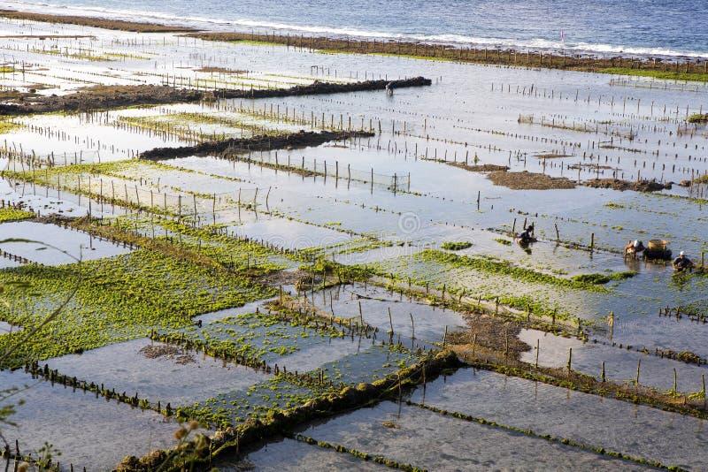 Seaweed plantations, Nusa Penida, Indonesia stock images