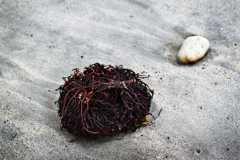 Seaweed Roots stock image