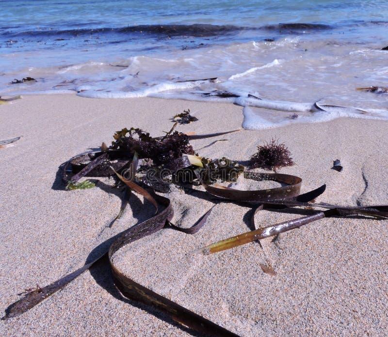 Seaweed royalty free stock photo
