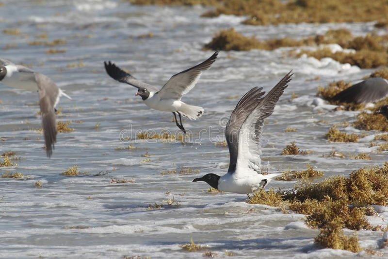Download Seaweed And Seagulls At The Beach Stock Image - Image: 25418859