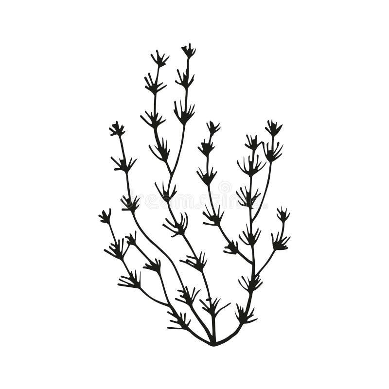 Seaweed sketch. Vector illustration isolated black royalty free illustration