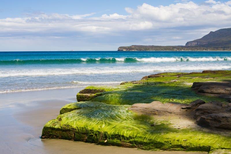 Seaweed on tessellated pavement, beach royalty free stock image
