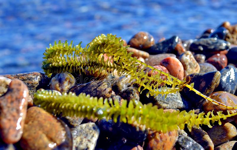 Seaweed on the wet pebbles. A sea shore. Marine seaweed on the background of blue sea. Closeup. royalty free stock photography
