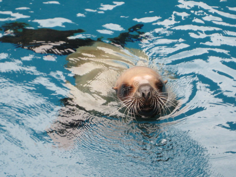 Download Seaworld морсого льва стоковое изображение. изображение насчитывающей florida - 6856147