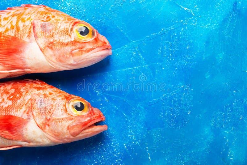 Sebastes oder Baß des Roten Meers auf blauem Hintergrund stockfoto