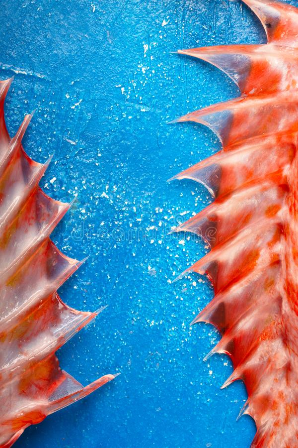 Sebastes or red sea bass fins on blue background. Sebastes or red sea bass flippers on blue background, top view royalty free stock images