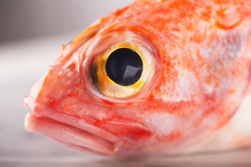 Sebastes or red sea bass on white stone background. Close up, ready to be cooked royalty free stock image