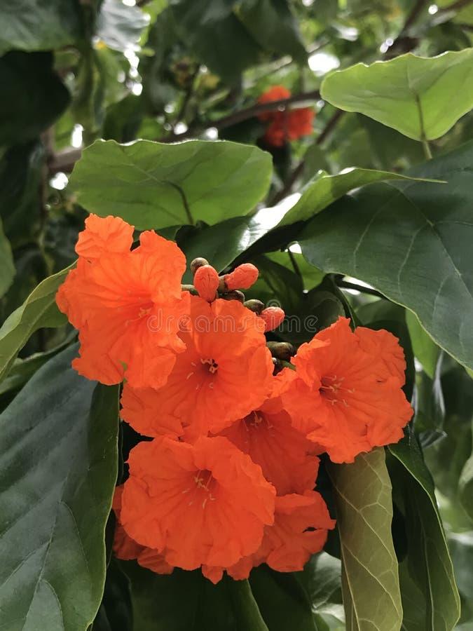 Sebestena de Cordia ou fleurs de Boraginaceae image libre de droits