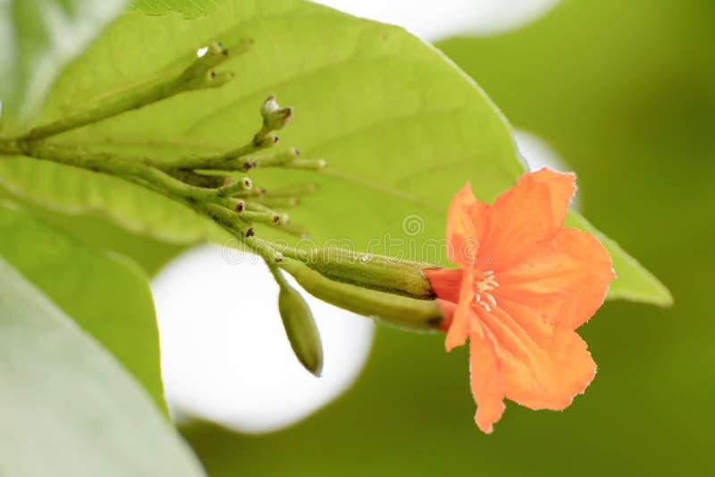 Sebestena di Cordia o angiosperme dell'albero s di geiger il suo bello fotografie stock libere da diritti