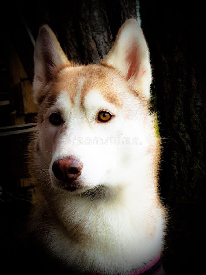 Sebirian Husky stock images