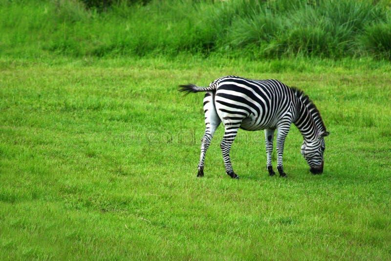 Download Sebra arkivfoto. Bild av häst, djungel, flotta, buskar - 288342