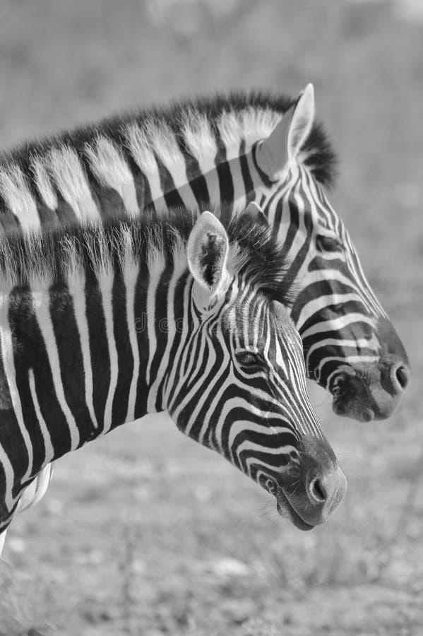 Sebra - afrikansk djurlivbakgrund - som paras upp band arkivbild