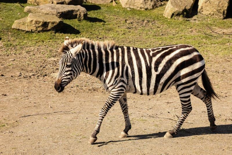 Sebra Dublin zoo ireland royaltyfri bild