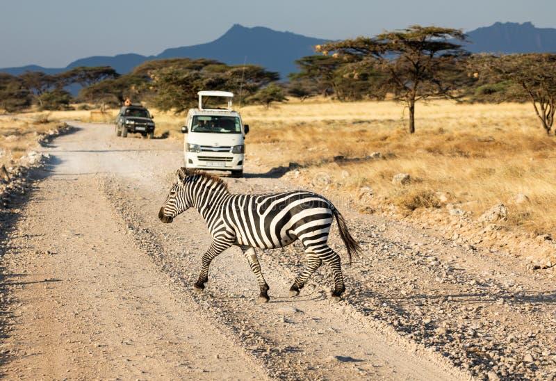Sebra Equusquagga som korsar grusvägen i savannah med safarimedel, akaciaträd och afrikanskt landskap i bakgrund royaltyfri foto