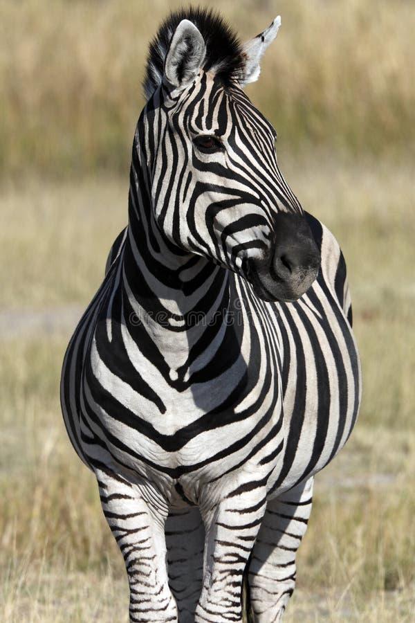 sebra för botswana equusquagga arkivbild