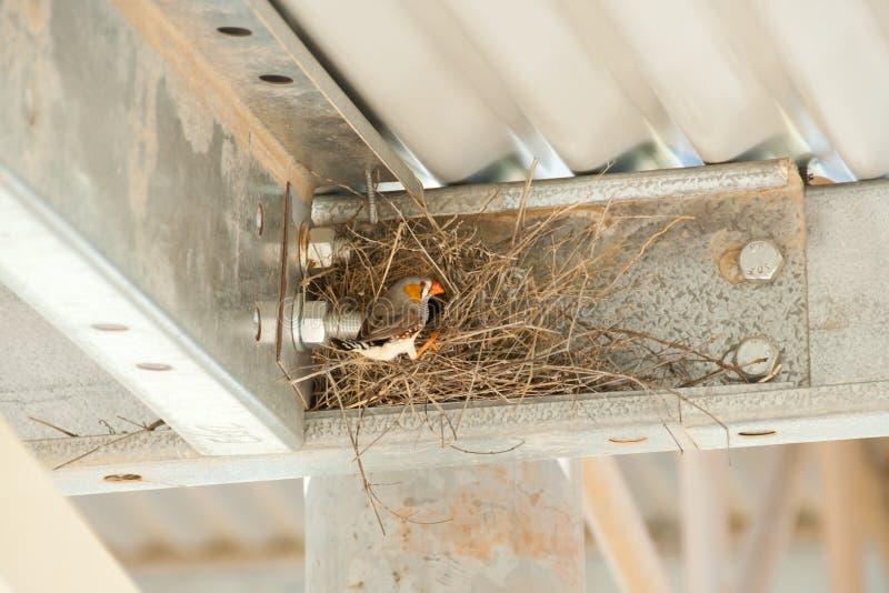 Sebra Finch Nest royaltyfri bild