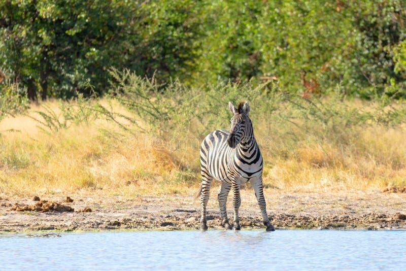 Sebra i busken, botswanskt Afrika djurliv arkivbilder