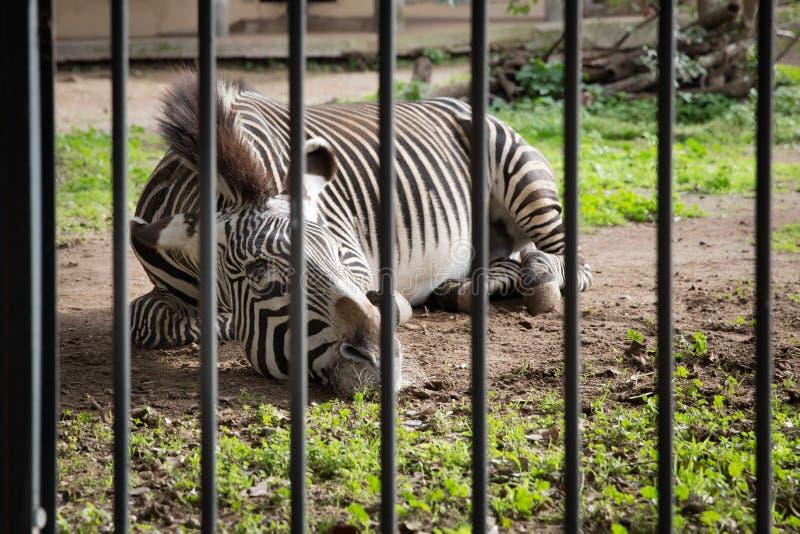 Sebra i en zoo arkivfoton