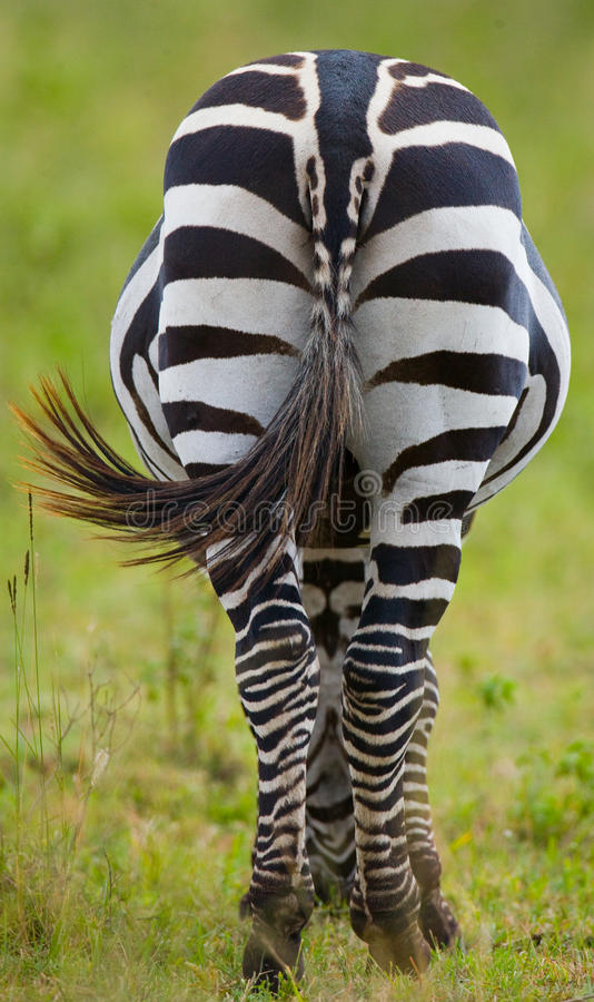 Sebra i savann kenya tanzania Chiang Mai serengeti Maasai Mara arkivfoton