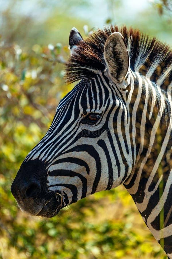 Sebra i savannah i Namibia royaltyfri bild