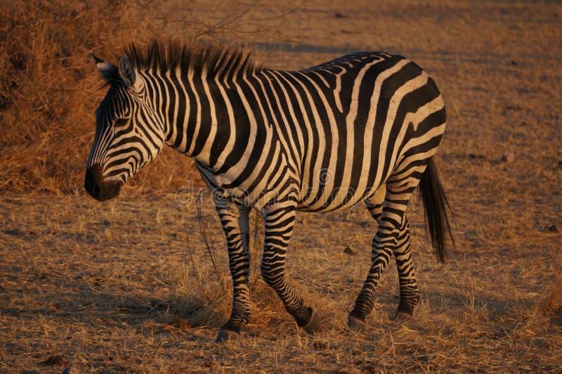 Sebra i Tarangire NP Tanzania arkivfoton